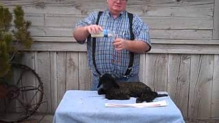 Tube Feeding A Newborn Lamb