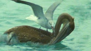 Pelican Hunt Sabotaged by Seagulls   Trials Of Life   BBC Earth
