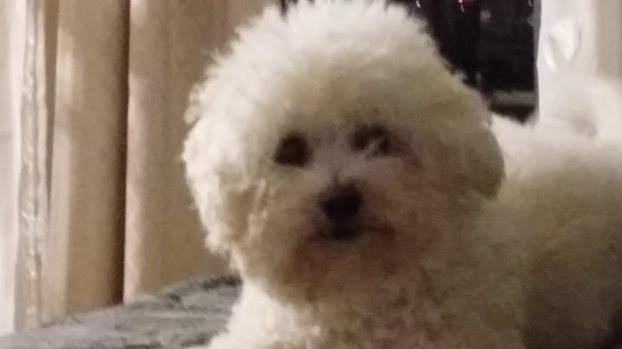 Bichon Frise s are so sweet
