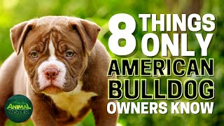 8 Things Only American Bulldog Owners Understand