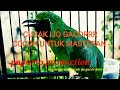 Cucak Hijau Gacor Masteran Burung  Mp3 - Mp4 Download
