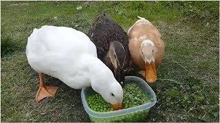 グリーンピース・マッドネス。ダックたちがエンドウ豆を食べるのが高速...