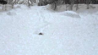 八ヶ岳の麓の凍結した池に積もった雪の中をラッセルする我が家の犬です...