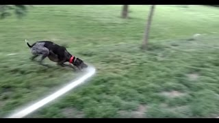 Our German Shorthaired Pointer Loves Water From The Garden Hose!