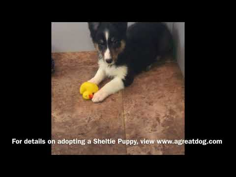 Sheltie Male Puppy