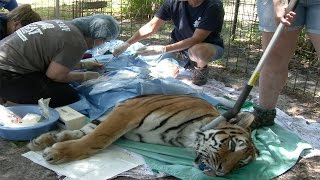 What Happens When Tigers Play Too Rough
