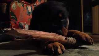 Skywalker Rottweiler Puppy Eating A Stick