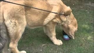 稀少な大型犬のお問合せはこちらから! http://www.masaki-collection.j...
