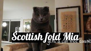 Cute scottish fold cat gets a new cat tree!
