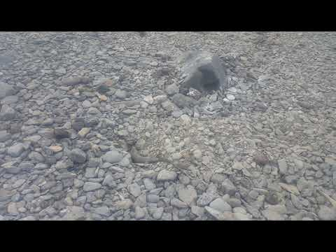 Galapagos Marine Iguana making a burrow to lay her eggs in, Galapagos Islands