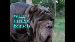 Neapolitan Mastiff Dogs And Puppies - World Class And Quality. Wild Child Kennels