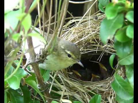 Bluthänfling Nest