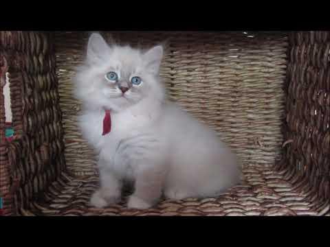 Litter W kittens. Siberian Neva masquerade kittens