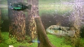 Все о домашних животных: Цихлазома елиота(Неоновые рыбки) уход, питание