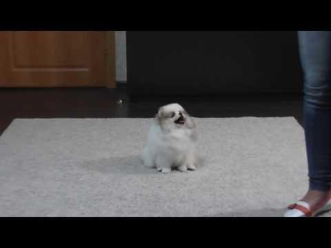 NEW - Boy for sale Pomeranian - Winner!