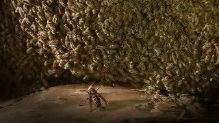 昆虫バトル ニホミツバチ×オオスズメバチニホニホン
