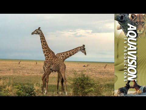 Masai Giraffe bulls fighting on the African Savannah.