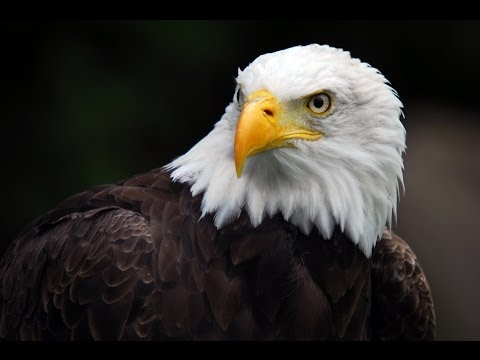 American Eagle - Nature Documentary (HD)