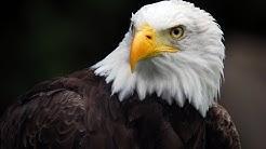 American Eagle - Nature Documentary (HD)