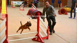 brevet agility  Dickens Border Terrier