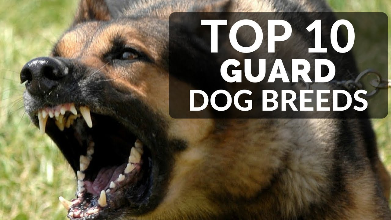 Top 10 Guard Dogs For Families Best Puppy Breed To Protect Family And House Youtube