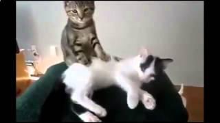Котенок тщательно пережевывает банан и другие кошки приколы