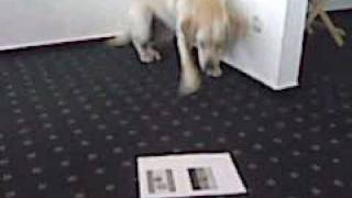 Orakel Labrador Retriever Martha Deutschland Vs. Spanien