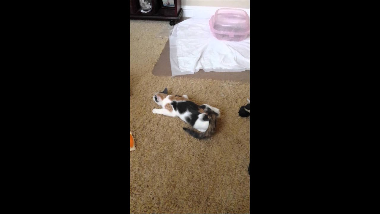 how young can a cat go into heat