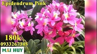 Epidendrum Pink - Dễ trồng- Dễ thương - Dễ nhân giống [ Mai Huy ]