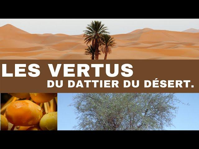 Les vertus du dattier du desert (sump)...leen vertus du dattier du desert (sump)