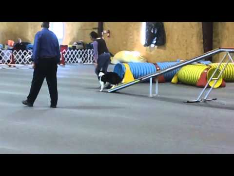 Carina's First Agility Trial AKC Novice Standard 19 Mths. Old