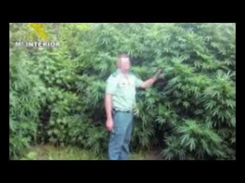 las plantas de marihuana mas grandes del mundo