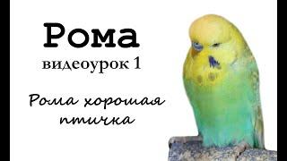"""🎤 Учим попугая по имени Рома говорить, видеоурок 1: """"Рома хорошая птичка"""""""