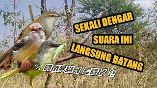 Download Lagu Suara Pikat Burung Ciblek Tebu Mp3 Video Gratis