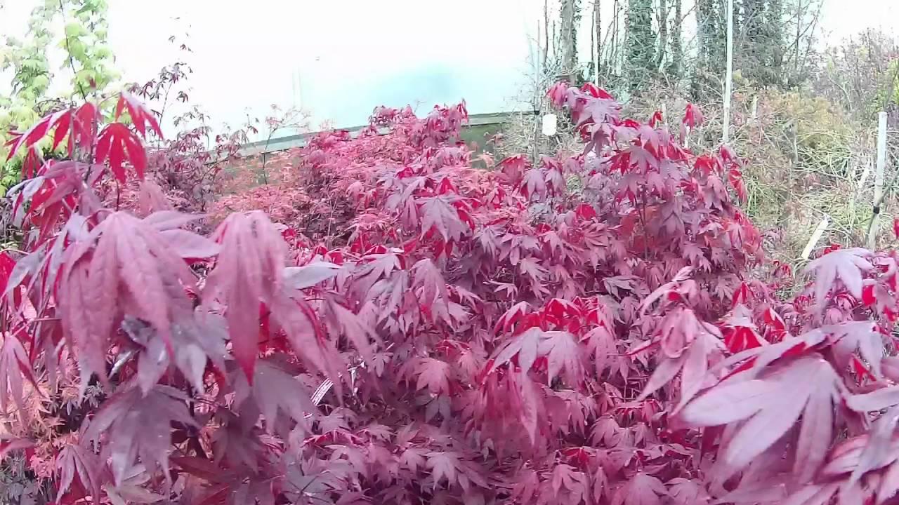 Buy Japanese Maples Plants Big Plant Nursery