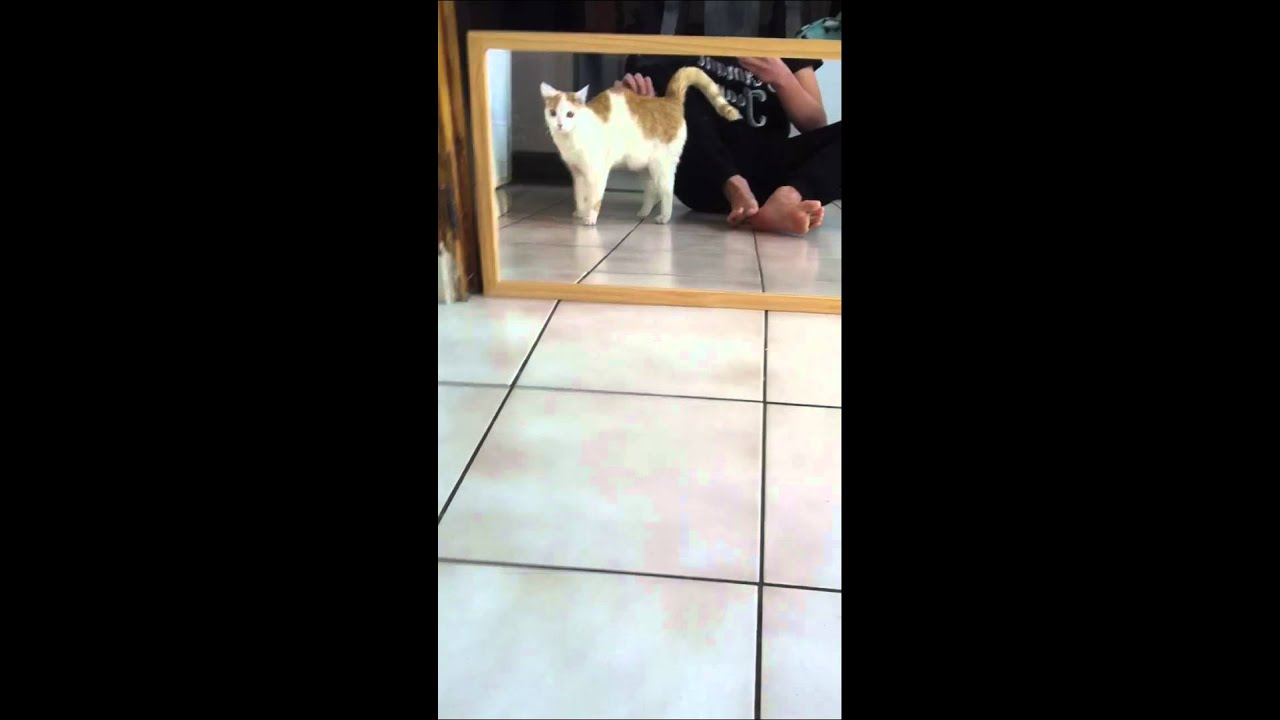 Cat Scared By Mirror