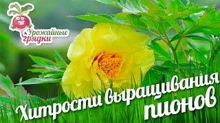 Хитрости выращивания пионов(Здравствуйте уважаемые садоводы! Мы содержим садовое хозяйство не только для того, чтобы получать хороший..., 2016-06-19T12:00:01.000Z)