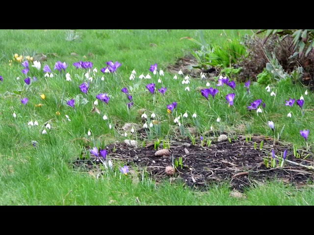 THOUSANDS of flowering CROCUSES! And more...