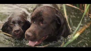 Лабрадор Ретривер ➠ Узнайте все о породе собаки