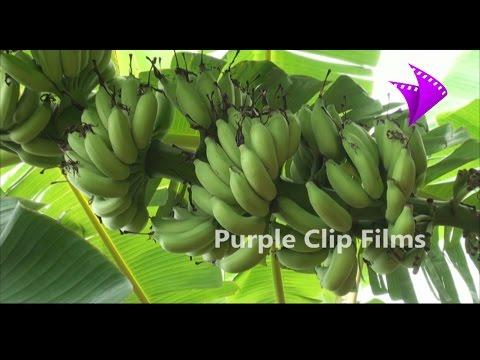 வாழை உற்பத்தி அதிகரிக்க வழிகள் - Tips to increase banana yield