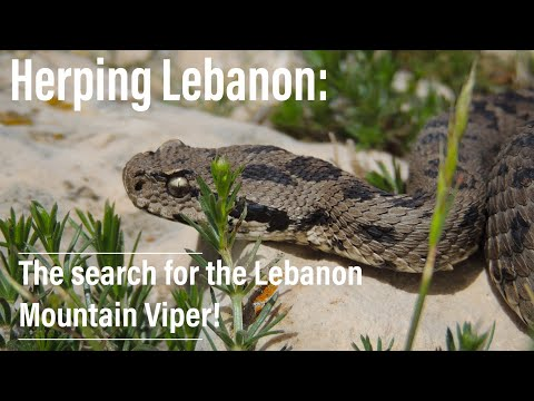 Herping Lebanon: A search for the Lebanon Mountain Viper (Montivipera bornmuelleri)