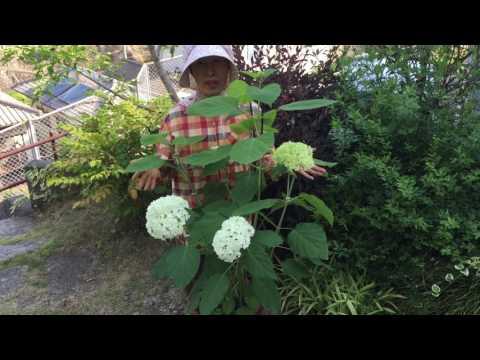 アジサイ アナベルを挿し木して1年 花がたくさん咲きました