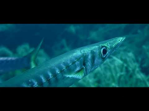 Barracudas Of Malgrats