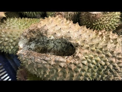 Organic Durian Farm In Malacca