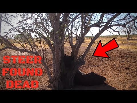 DEAD Steer Found After HANGING Itself!!