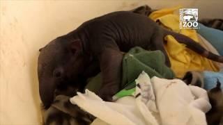 New Tamandua Baby 4 Days Old - Cincinnati Zoo