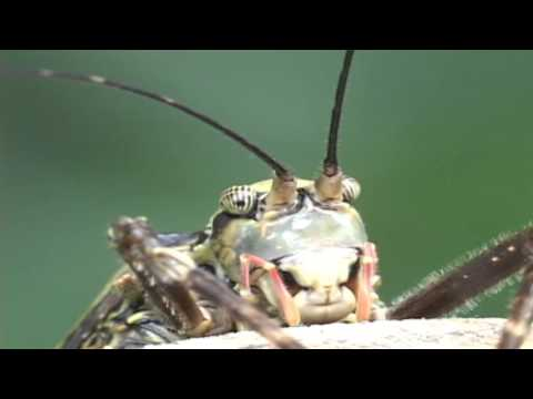 Katydids of Costa Rica-Masters of Camouflage and Mimicry