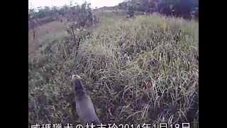 knight-errant  search and rescue dog搜救犬-林志玲SAR Dog  20140118模擬原野迷蹤救援訓練-1