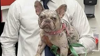 Raw video: French bulldogs recovered and returned to owner after gang arrests