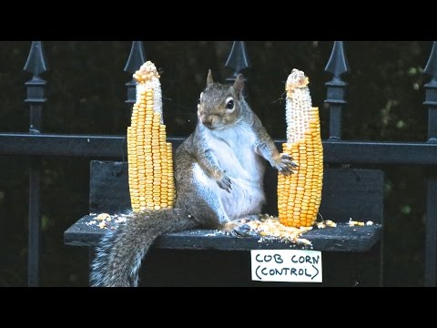 Do Squirrels Reject Genetically Modified Corn?